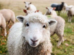 oveja por qué callan los corderos