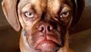 rostro de perro con cara de mala leche
